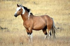 Totally gorgeous South Steens Stallion