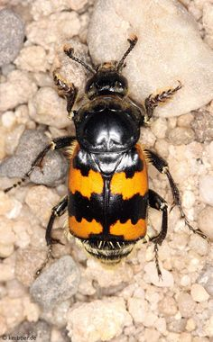 Nicrophorus vespillo -- The name sounds like it dines on dead wasps. In reality it is a burying beetle that has yellow and black stripes like a wasp.