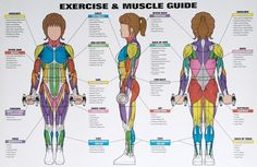 weight training muscle groups for women | Women's Exercise & Muscle Guide Chart -- Spri (WC-WMG ...