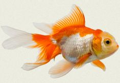Red & White Fantail Fancy Goldfish