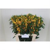 Euphorbia Yellow! #Flowers #Euphorbia #Seasonal #Wholesale