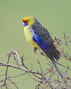 Platycercus caledonicus - Collinsvale-Green Rosella