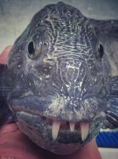 Crazy Deep Sea Fish and Other Creatures Caught by Russian Fisherman Weird Sea Creatures, Alien Creatures, Ocean Creatures, Underwater Creatures, Underwater Life, Frilled Shark, Ugly Animals, Shark Pictures, Fauna Marina