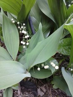 Mid May blooms Lilly of the Valley s