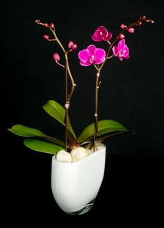 This is a purple phalaenopsis orchid plant.  See our entire selection at www.starflor.com.  To purchase any of our floral selections, as gifts or décor, please call us at 800.520.8999 or visit our e-commerce portal at www.Starbrightnyc.com. This composition of flowers is generally available for same day delivery in New York City (NYC). OP030 Phalaenopsis Orchid, Orchid Plants, Orchids, Portal, Planter Pots, Composition, Nyc, Delivery, Entertaining