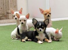 A bunch of adorable, little Chihuahuas!!  Look at some of those expressions....so cute.