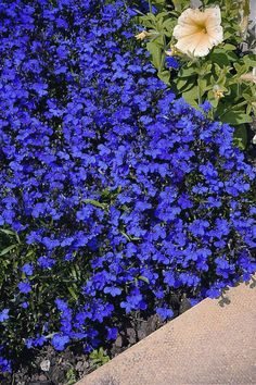Lobelia Crystal Palace - I should try this in the ground instead of in container.