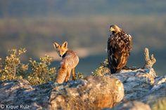 Pinceladas de la naturaleza selección: Aguila imperial y zorro