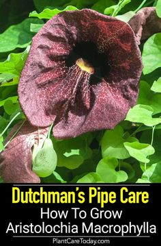 Dutchman& PIpe Plant Care: How To Grow Aristolochia Macrophylla Vine Potted Trees, Trees To Plant, Plant Growth, Plant Care, Planting Succulents, Planting Flowers, Flower Gardening, Gardening Tips, Dutchman's Pipe