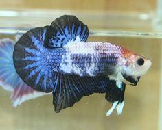 AquaBid.com - Item # fwbettashmp1436640605 - ++++FANCY BLUE-BLACK DRAGON++++MALE - Ends: Sat Jul 11 2015 - 01:50:05 PM CDT