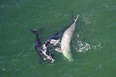 Baleias semialbinas são avistadas no Sul de Santa Catarina - Diário Catarinense