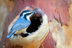 Knothole Feeder Version II In a previous blog entry I showed the steps involved in making a knothole feeder with a piece of bark. This is a slightly different version using a piece of solid firewood. Knothole feeders are extremely useful A site devoted to DIY photography ideas. I like to provide step by step tutorials on how to create DIY items in photography.If you want to see some superb photography check out Chris the Photog my photoblog at  http://christhephotog.blogspot.com/