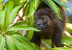 Reserva Biologica - nosara costa rica Nosara, Costa Rica Travel, Primates, Cute Funny Animals, Monkey, Cousins, Image, Scripts, Nature Reserve