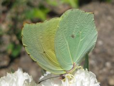 Mariposa Pieridae  http://www.labioguia.com/notas/15-mariposas-unicas-y-hermosas