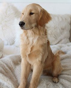 """Check out our website for even more details on """"golden retriever puppy"""". It is an exceptional area to find out more. Chihuahua Puppies, Cute Puppies, Cute Dogs, Dogs And Puppies, Doggies, Cute Puppy Pictures, Dog Pictures, Chien Golden Retriever, Golden Retrievers"""