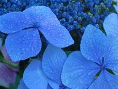 Blue Hydrangea with dew by @Sally McWilliam McWilliam McWilliam Lee by the Sea