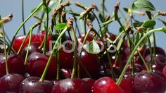 Cherry, shooting in motion.  #cherry #background #berries #berries #berries pattern #berry #berry #fruit #cherries #cherries background #cherry background #closeup #delicious #dessert #dew #eco #eco food #eco friendly #eco friendly #background #food #fresh #freshness #fruit #fruits #healthy #in drops #juicy #juicy berry #juicy #sweet #cherry #macro #matured #natural #natural #food #organic #raw #raw food #raw diet #red #ripe #ripe cherry #sweet #sweet #cherries #sweet #cherry #vegan #food…