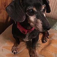 Pin By Animal Realities On Please Adopt Dachshund Adoption
