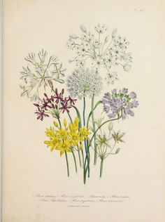 Allium. Plate from 'The Ladies' Flower Garden of Ornamental Bulbous Plants' by Jane Loudon. Published 1841 by William Smith.