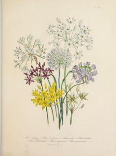 Flowers   Allium (Garlic).  Plate...