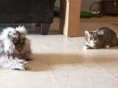Lil Bub, Grumpy Cat Offer Condolences After Passing Of Colonel Meow (Col Meow passed away Jan 29, 2104). Photo: Col Meow on left, Lil Bub on right - #GrumpyCat #ColonelMeow