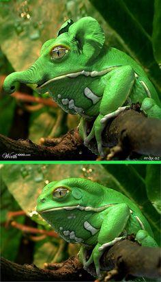 Fake - Elefrog - The original image of a Waxy Monkey Tree/Leaf Frog - Makifrosch (Phyllomedusa sauvagii) taken at the Frankfurt Zoo is on the bottom.