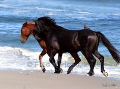 These wild mustangs of Spanish descent run wild on the CarolinaOuterBanks.com -What a lovely day.