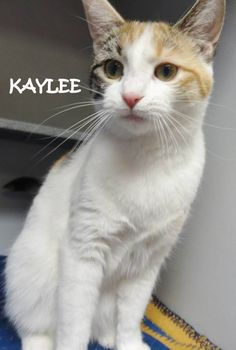 ADOPTED!  Tag# 6118 Name is Kaylee  Calico  Female-unsure of spay  Talker!   Located at 2396 W Genesee Street, Lapeer, Mi. For more information, please call 810-667-0236   https://www.facebook.com/267166810020812/photos/a.775557219181766.1073742111.267166810020812/775558175848337/?type=3&theater