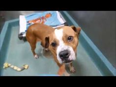 1/18/17 LISTED TO BE MURDERED ONCE AGAIN!! RUNNING OUT OF CHANCES AND TIME!! RESCUE ONLY!! Brooklyn Center My name is DOBBY. My Animal ID # is A1100737. I am a female brown and white am pit bull ter mix. The shelter thinks I am about 5 YEARS old. I came in the shelter as a STRAY on 12/30/2016 from NY 11238, owner surrender reason stated was STRAY.