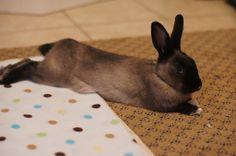 dark bunny relaxing