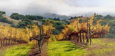 *Fall Vineyard~~Napa Valley~~ By June Carey