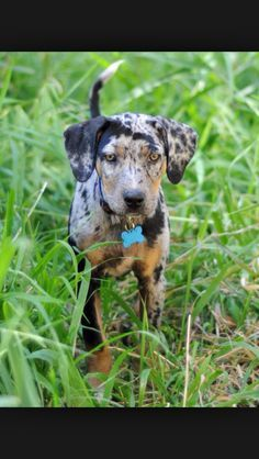 Catahoula Leopard Dog puppy. I will have one someday!