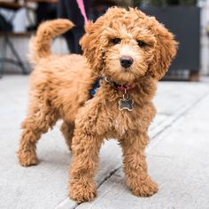 """Rory Miniature Goldendoodle (3 m/o) Kenmare & Cleveland Pl. New York NY  """"When she gets scared of the vacuum cleaner she hides between the wine bottles. It's her safe place."""" #thedogist"""