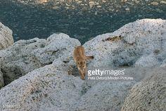 Mountain Lion Female Sarmiento Lake Torres Del Paine National Park ...