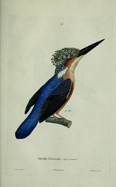 Kingfisher / A. Bertrand,1839.
