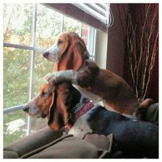 14 Reasons Basset Hounds Are The Worst Indoor Dog Breeds Of All Time Hound Puppies, Basset Hound Dog, Dogs And Puppies, Doggies, Basset Puppies, Weimaraner, Bloodhound, Schnauzers, I Love Dogs