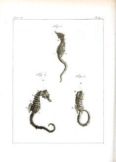 Animal - Sea shell - Sea horses 2.jpg 1,887×2,625 pixels