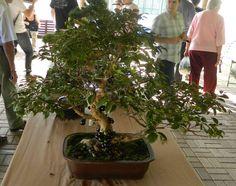 A jabuticabeira é uma das espécies nativas mais utilizadas na arte do bonsaiSe você quer ter uma árvore jabuticabeira bonsai, recomendado que se obtenha um bonsai através da alporquia de um galho que já esteja frutificando, fazendo o anelamento completo do tronco e, utilizando algum tipo de hormônio enraizante. A época recomendada para a alporquia…