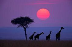 Purple Safari
