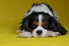 Yellow Maddog by ~cavalierkaa on deviantART