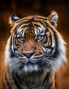 Tiger - null