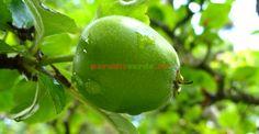 Paradis, Mai, Apple, Green, Lawn And Garden, Apple Fruit, Apples