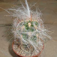 Oreocereus-celsianus-RARE-Cactus-Plant-Ariocarpus-Astrophytum-Aztekium-G