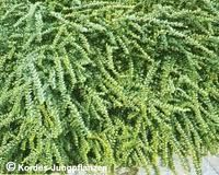 Lonicera nitida,  Box Honeysuckle - for the garden wall