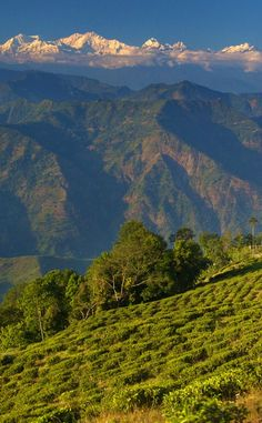 Tea gardens (framed by the Himalayas) in Darjeeling, India.