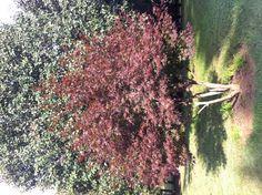 Cute little maple tree