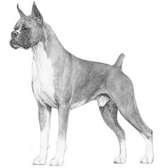 Boxer Breed Standard Illustration. GENERAL APPEARANCE The ideal Boxer is a medium-sized, square-built dog of good substance with short back, strong limbs, and short, tight-fitting coat. His well-developed muscles are clean, hard, and appear smooth under taut skin. His movements denote energy. The gait is firm yet elastic, the stride free and ground-covering, the carriage proud. Developed to serve as guard, working, and companion dog, he combines strength and agility with elegance and style…
