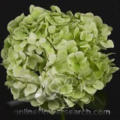 Green Hydrangea | Hydrangea Lime Green - Large! | Green Decor