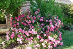 Children of the Corm: A Charleston Garden Blog: 10 Shade Tolerant Roses