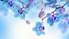 This HD wallpaper is about Orchid, blue, white, flowers, Original wallpaper dimensions is file size is White Flower Wallpaper, Orchid Wallpaper, Man Wallpaper, Iphone Wallpaper, Blue Orchid Flower, Purple Orchids, White Orchids, White Flowers, Flora Flowers